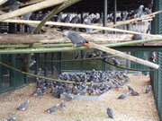 African Gray Parrots are ready and am looking for new homes