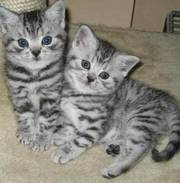 chocolate colourpoint british shorthair kittens for sale