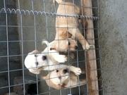 labrador pups for sale /cork city