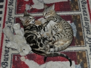 Bengal and F1 savannah kittens for sale.