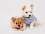 Charming Chihuahua Puppies Ready