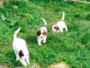 purebred springer pups