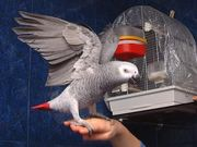 twin African Grey Parrots for re homing