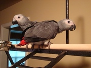 Hand Raised African Gray Parrots